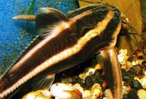 Liniendornwels (Platydoras costatus)