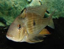 Männchen von Acarichthys heckelii
