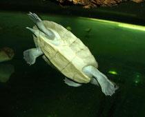 Batagur-Schildkröte (Batagur baska): Eine der beiden Jungschildkröten in der Aufzuchtstation im Keller des Aquarienhauses - Welterstnachzucht des Schönbrunner Tiergartens!