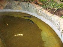 Noch wirken die Froschwelse ein wenig verunsichert, aber das sollte sich bald ändern.