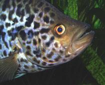 Parachromis managuensis - aber auch ein Draufgänger pur!
