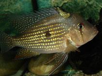 Acarichthys heckelii: Männchen
