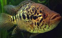 Parachromis managuensis - ein prachtvoller Großcichlide