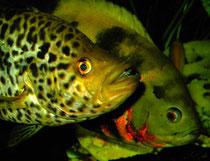 Parachromis managuensis und Astronotus ocellatus