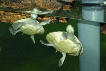 Batagur-Schildkröte (Batagur baska): Beide Jungschildkröten in der Aufzuchtstation im Keller des Aquarienhauses - Welterstnachzucht des Schönbrunner Tiergartens!