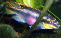 Pelvicachromis pulcher