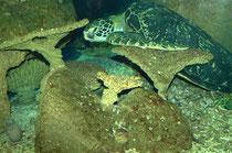 Grüne Meeresschildkröte und Muräne