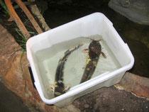 Juris' Froschwelspaar kurz vor dem Einsetzen in den Teich.
