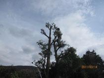 高い槙の木にも登られ、見事にスッキリして行く。