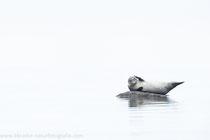 Seehund (Phoca vitulina), Nov 2020 MV/GER, Bild 5