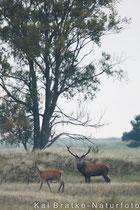 Rothirsch (Cervus elaphus) mit Kahlwild, Sept 2017 MV, Bild 2