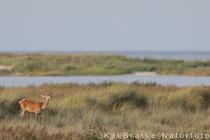 Rotwild weibl. (Cervus elaphus), Sept 2017 MV, Bild 8