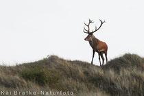 Rothirsch (Cervus elaphus), Sept 2018 MV, Bild 13