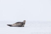 Seehund (Phoca vitulina), Jan 2021 MV/GER, Bild 7