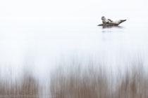 Seehund (Phoca vitulina), Nov 2020 MV/GER, Bild 6