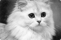 1981, Katze: silver-shaded, Foto: Birgitta Kuhlmey