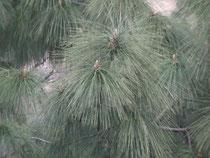 松の木の葉。日本の大王松ほどではないですが、葉が長くてだらんと垂れ下がっています。