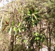 なんとゴムの木が自生していました。
