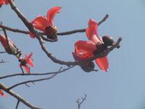 インドで初めて見た木です。辛夷のようなカタチでした。赤い花が羽子板の羽根のようです。