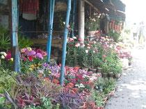 コルカタにある園芸店。日本でもお馴染の花がたくさん並んでいました。