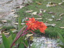 大涅槃寺に咲くカンナ