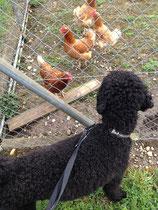 Und dann sind da noch die Hühner! Ich guck mir die lustigen Hüfper ja gerne an. Aber so ein Tier anfallen oder sonstwas damit machen? Never!