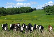 Les vaches, de face