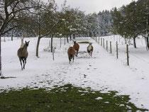 Lamas im Schnee
