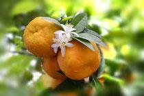 Orange mit Orangenblüte am Baum