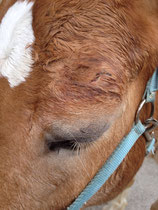 Verletzung am oberen Augenlid, stark geschwollen, ein Tag nach der Verletzung