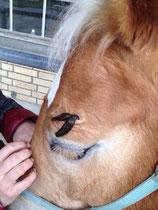 das Pferd ist ruhig und entspannt
