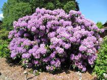 Ein mächtiger Rhododendron