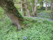 Blue Bells als Unterwuchs im Park Stourhead Garden