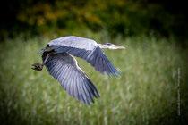 Heron envol