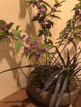 川崎市の鉢庭 コムラサキとコクリュウ