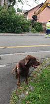 Sobald der Bagger die abgesuchte Hecke entfernt hat, ist Spürhund Keno wieder an der Reihe