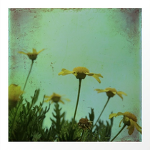 """""""Fragile Flowers"""" textured and vintage daisies photograph"""
