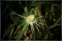 Wie Strahlen: Die Pflanze ist verblüht. Auch die Samen der Pusteblume wurden bereits weggeweht.