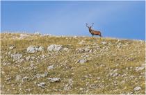 Cervo nobile -Parco Nazionale d'Abruzzo