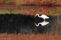Ardea alba -  airone bianco maggiore
