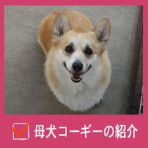 母犬コーギーの紹介