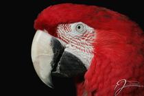 Roter Ara