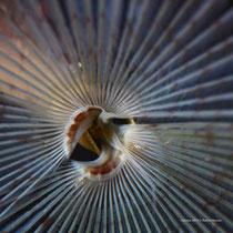 Påfuglmark / Peacock Worm / Pfauenfederwurm - Hinnøya 2014 © Robert Hansen