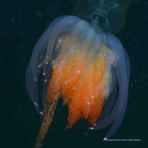 Physophora Hydrostatica / Siphonophore Colony /Tiefseequalle - Svartskard, Hinnøya © Robert Hansen