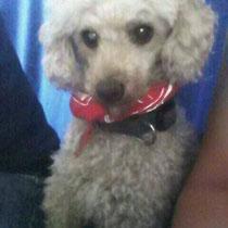 Der kleine Kerl saß bereits seit 2 Wochen in der Sirius-Hundepension und wurde von einer Mitarbeiterin hier erkannt.