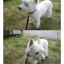 """""""Hab ihn auf eurem Foto erkannt. Charlie gehört dem Freund einer Freundin. Da wir vor einiger Zeit zusammen mit unseren Hunden spazieren waren, hab ich mich an sein blütenweißes Fell und seine tolle Figur erinnert. Hab meiner Freundin gleich euer Foto ges"""