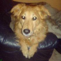 Diesen entlaufenen und durch Ebay Kleinanzeigen gesuchten Hund fand Melli Kautz auf dem Nachhauseweg. Er befindet sich momentan noch im TH Berlin. Wir hoffen das er dort bald abgeholt wird. Ja er wurde abgeholt, und die Halter halten es noch nicht mal für