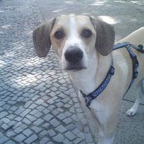 Das ist Sammy, der heute in Tempelhof entlaufen ist und den Wil Ly einfangen konnte. Danke!