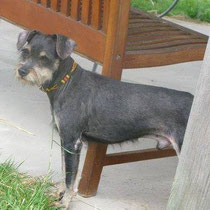 Hier die Suchanzeige der Finderin  Sucht jemand sein Hund ? Der Hund sieht aus wie ein Zwergschnauzer ist schwarz braun sehr ängstlich ca 30 cm hat ein Halsband um mit einer Glocke dran ... Er muss schon eine weile unterwegs sein denn sein Fell ist sehr N