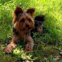 SUSI (Yorkshire-Terrier; weiblich) seit dem 08.05.13 in 15366 Brandenburg / Neuenhagen vermisst